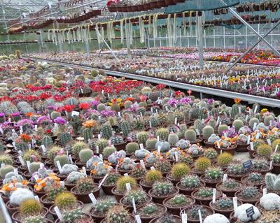 Southfield nurseries the home of cactusland cacti nurseries for Vivero de cactus en chile