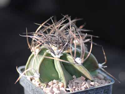 Consumer Contracts Regulations >> Astrophytum capricorne v niveum nudum - Southfield Nurseries