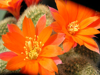 Photograph of Rebutia (Aylostera), hoffmannii