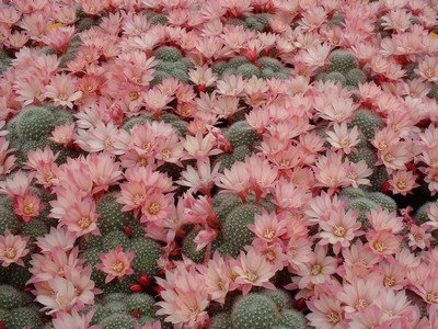 Photograph of Rebutia (Aylostera) Hybrids, 'Celebration'