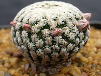 Photograph of Solisia, pectinata (Mammillaria pectinifera)