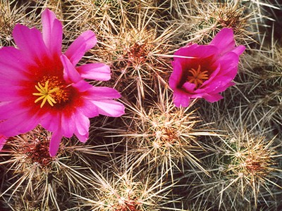 Photograph of Echinocereus, Barthelowanus