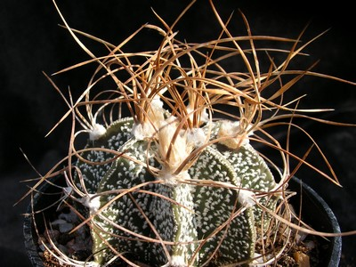 Photograph of Astrophytum, capricorne variety crassispinoides