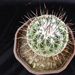 Thumbnail image of Thelocactus, conothelos