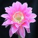 Thumbnail image of Echinopsis (Southfield Nurseries Hybrid), 'Bourne Chance'