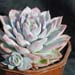 Thumbnail image of Echeveria, gilva 'Blue Surprise'