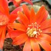 Thumbnail image of Rebutia (Aylostera) Hybrids, 'Stacey'