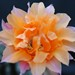 Thumbnail image of Echinopsis (Southfield Nurseries Hybrid), 'Bourne Cracker'