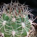 Thumbnail image of Gymnocalycium, saglionis
