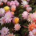 Thumbnail image of Echinopsis (Southfield Nurseries Hybrid), 'New Dawn' hybrid