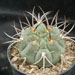 Thumbnail image of Gymnocalycium, oehnanthemum