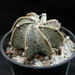 Thumbnail image of Astrophytum, capricorne v minor fa