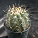 Thumbnail image of Copiapoa, atacamensis
