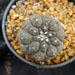Thumbnail image of Copiapoa, hypogea
