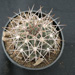 Thumbnail image of Gymnocalycium, rhodantherum