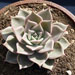 Thumbnail image of Echeveria, 'Lincoln Mystique'