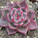 Thumbnail image of Echeveria, 'Lincoln Ruby Glow'