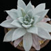 Thumbnail image of Echeveria, agavoides 'Mexican Giant'