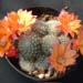 Thumbnail image of Rebutia (Aylostera) Hybrids, 'Celebration' - orange