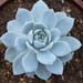 Thumbnail image of Echeveria, 'Lincoln Frost'
