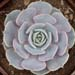 Thumbnail image of Graptopetalum, 'Spring Morning'