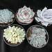 Thumbnail image of Echeveria, Collection (our selection)