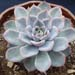 Thumbnail image of Echeveria, 'Lincoln Blue Ice'