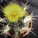 Thumbnail image of Astrophytum, ornatum