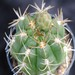 Thumbnail image of Gymnocalycium, megalothelos