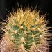 Thumbnail image of Gymnocalycium, multiflorum x ritterianum