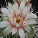 Thumbnail image of Gymnocalycium, weissianum