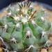 Thumbnail image of Copiapoa, bridgesii