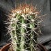 Thumbnail image of Copiapoa, intermedia