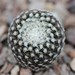 Thumbnail image of Copiapoa, Lauii