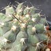 Thumbnail image of Copiapoa, marginata