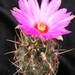 Thumbnail image of Thelocactus, bicolor variety texensis