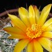 Thumbnail image of Thelocactus, conothelos variety aurantiacus