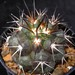 Thumbnail image of Copiapoa, coquimbana