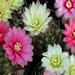 Thumbnail image of Gymnocalycium (Southfield Nurseries Hybrid), hybrid 'Carnival' - mixed