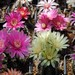 Thumbnail image of Gymnocalycium (Southfield Nurseries Hybrid), hybrid 'Lincoln Pride'