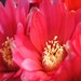 Thumbnail image of Gymnocalycium (Southfield Nurseries Hybrid), hybrid 'Lincoln Rose'