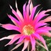Thumbnail image of Echinopsis (Southfield Nurseries Hybrid), 'Bourne Spider'