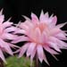 Thumbnail image of Echinopsis (Southfield Nurseries Hybrid), 'Peter's Bourne Pearl'
